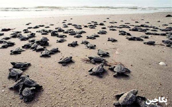 ساحل لاک پشت هرمز